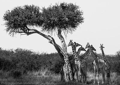 Masai Mara Kenya giraffe picture