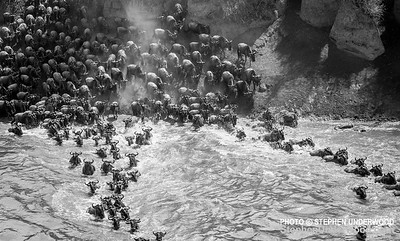 A herd of wildebeest cross the Mara River during their annual migration