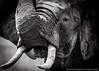 Picture of African elephant on Masai Mara, Kenya