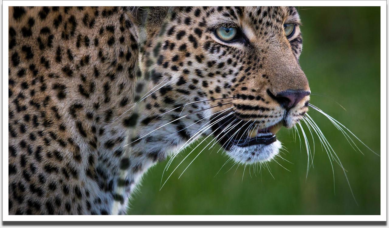 Leopard, Masai Mara, Kenya