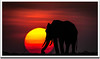 African elephant at sunset