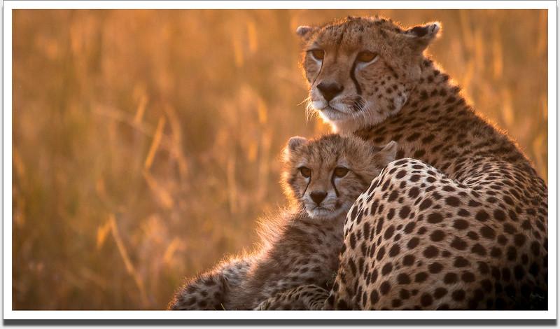 Masai Mara cheetah and cub