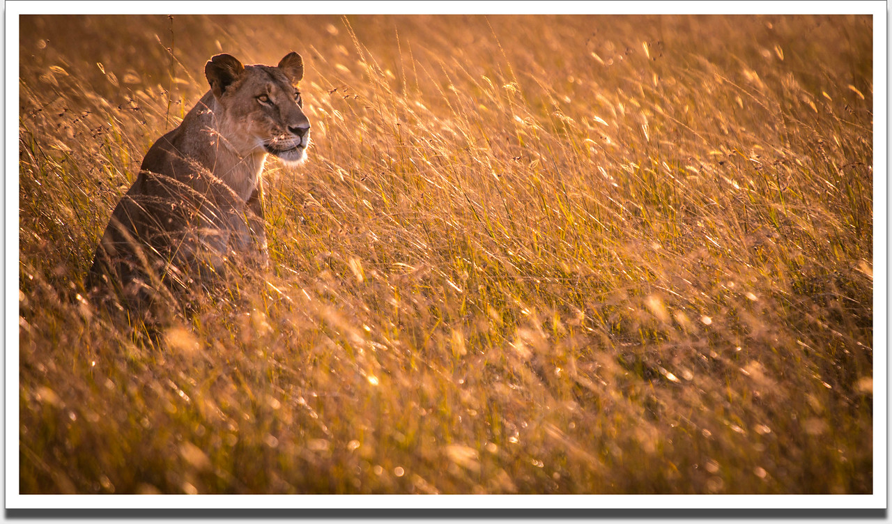 Lioness on the Masai Mara