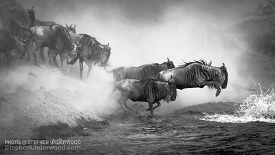 Wildebeest leap into the Mara River