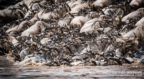 Chaos as wildebeest struggle to cross the Mara River