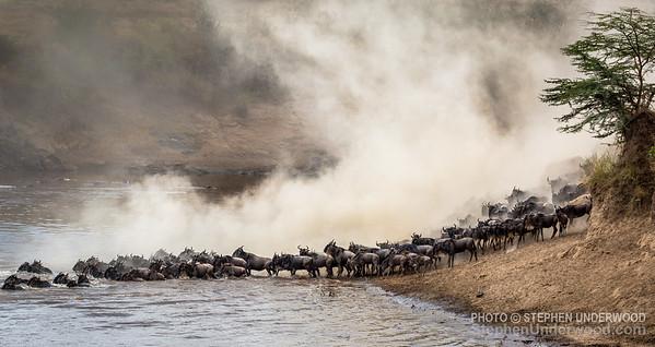 Wildebeest herd at the Mara River
