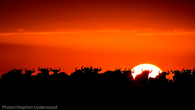 Wildebeest at sunset on the Masai Mara