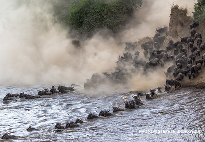 Wildebeest herd crossing the Mara River