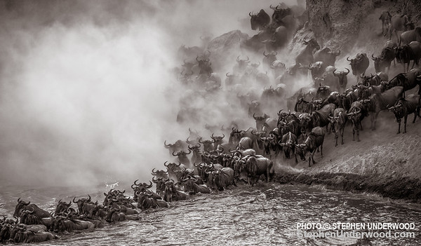 Migrating wildebeest crossing the Mara River in a cloud of dust