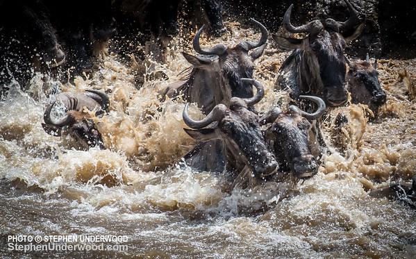Migrating wildebeest brave the Mara River