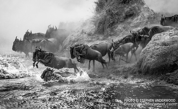 Wildebeest leaping into the Mara River