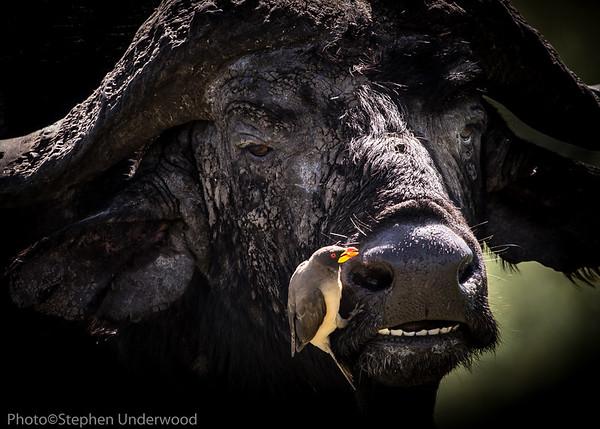 Buffalo and attendant oxpecker