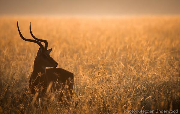 Male impala at sunrise