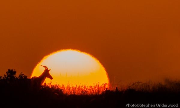 Topi at sunrise