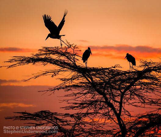 Marabou storks at dawn