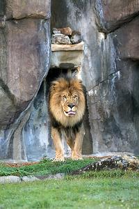 Leo and Una, live lion mascots