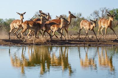 Skittish impalas