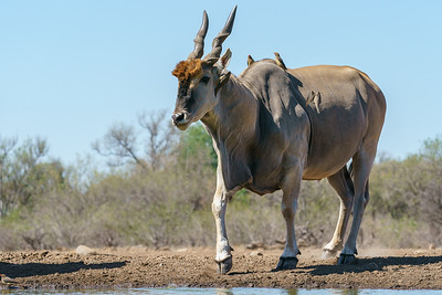 Male eland with oxpeckers