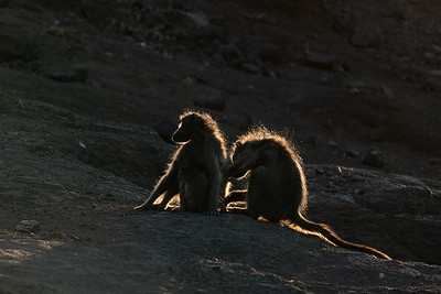 Chacma baboons at sunset