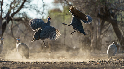 Sparring guineafowl