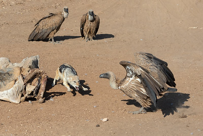 Black-backed jackal, white-backed vultures and eland carcass