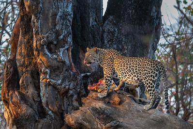 Leopard and impala kill