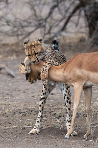 Cheetah hunting impala