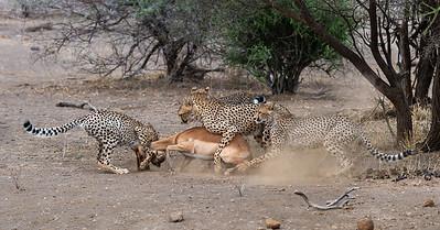 Cheetahs hunting impala