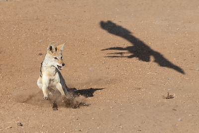 Black-backed jackal chasing a white-backed vulture