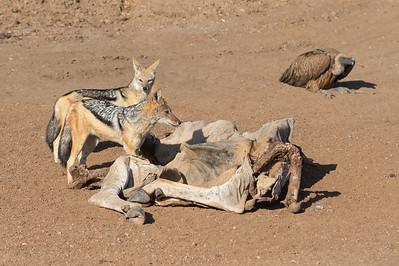 Black-backed jackals, white-backed vulture and eland carcass
