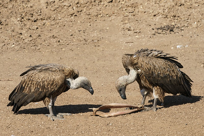 Vultures with eland jawbone