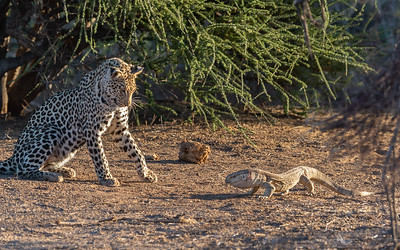 Leopard and monitor lizard