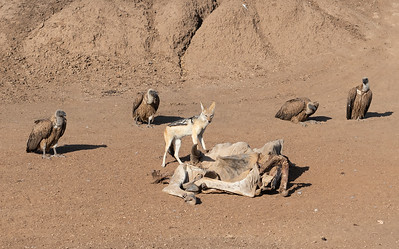 Black-backed jackal, white-backed vultures and eland carcass