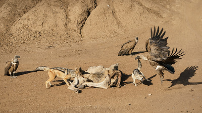 Fighting over a dried up eland carcass