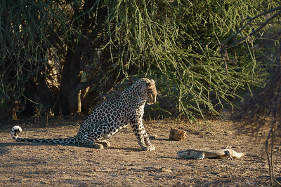 Young female leopard taunting a monitor lizard
