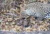 Leopard_Eating_Mongoose_Mashatu_2019_Botswana_0012