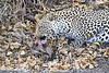 Leopard_Eating_Mongoose_Mashatu_2019_Botswana_0006