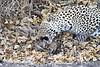 Leopard_Eating_Mongoose_Mashatu_2019_Botswana_0013