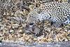 Leopard_Eating_Mongoose_Mashatu_2019_Botswana_0010
