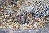 Leopard_Eating_Mongoose_Mashatu_2019_Botswana_0007