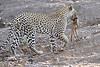Leopard_Eating_Mongoose_Mashatu_2019_Botswana_0001