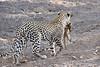 Leopard_Eating_Mongoose_Mashatu_2019_Botswana_0002