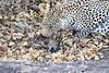 Leopard_Eating_Mongoose_Mashatu_2019_Botswana_0011