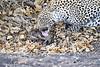 Leopard_Eating_Mongoose_Mashatu_2019_Botswana_0008
