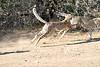Cheetah_Run_Mashatu_2019_Botswana_0012