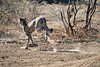 Cheetah_Run_Mashatu_2019_Botswana_0001