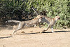 Cheetah_Run_Mashatu_2019_Botswana_0017