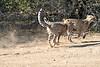 Cheetah_Run_Mashatu_2019_Botswana_0011