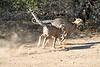 Cheetah_Run_Mashatu_2019_Botswana_0010