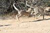 Cheetah_Run_Mashatu_2019_Botswana_0013